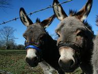Donkeys and Mules Quizzes, Trivia and Puzzles