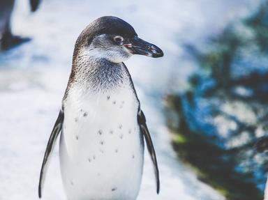 Penguins Quizzes, Trivia and Puzzles