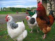 Poultry Quizzes, Trivia and Puzzles