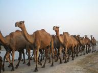 Llamas and Camels Quizzes, Trivia and Puzzles