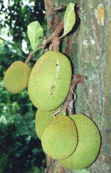 Джекфрут или индийское хлебное дерево (Artocarpus heterophyllus