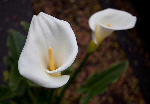 A world of flowers quiz 10 questions my funnel shaped white blooms signify resurrection and rebirth which is why i can often be seen in funeral arrangements what am i called mightylinksfo