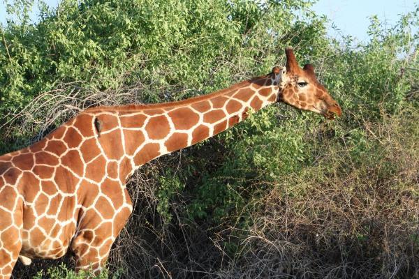 Pictorial Quiz of the Giraffes of Kenya Quiz   10 Questions